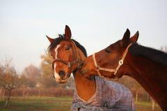 Dos caballos marrones que juegan junto Imágenes de archivo libres de regalías