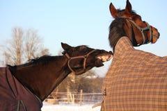Dos caballos marrones que juegan junto Fotografía de archivo libre de regalías