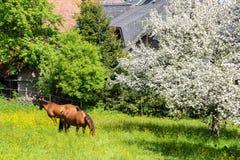 Dos caballos marrones que pastan Foto de archivo