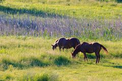 Dos caballos marrones que pastan en el prado en una mañana soleada del verano Fotos de archivo libres de regalías