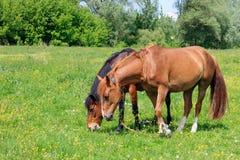 Dos caballos marrones que pastan en la hierba verde del prado en un día de verano soleado Imagen de archivo