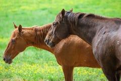 Dos caballos marrones se colocan en el prado con el campo de flor amarillo en las Grandes Montañas Humeantes parque nacional, Ten Fotografía de archivo