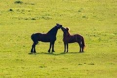 Dos caballos negros y el besarse marrón en prado fotografía de archivo