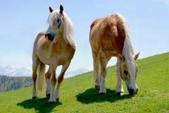 Dos caballos orgullosos que pastan en prado verde Fotografía de archivo