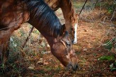 Dos caballos que alimentan cerca para arriba Imagen de archivo libre de regalías