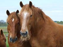 Dos caballos que comen el heno Fotos de archivo libres de regalías