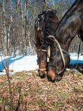 Dos caballos que comen la hierba Fotos de archivo