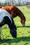 Dos caballos que comen la hierba junta Fotografía de archivo libre de regalías