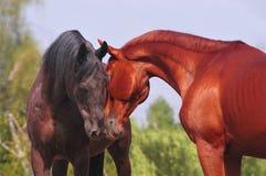 Dos caballos que comunican Foto de archivo libre de regalías