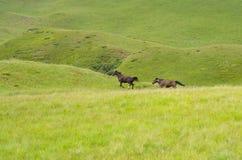 Dos caballos que corren después de uno a imagen de archivo libre de regalías