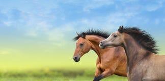 Dos caballos que corren a través del campo verde Imágenes de archivo libres de regalías