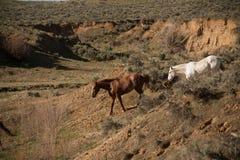 Dos caballos que entran abajo el barranco para el agua Imagen de archivo libre de regalías