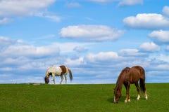 Dos caballos que pastan Foto de archivo libre de regalías