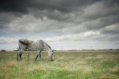 Dos caballos que pastan en campo Imágenes de archivo libres de regalías