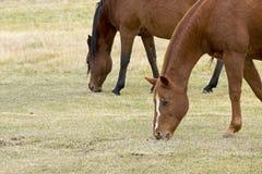 Dos caballos que pastan en un campo Fotos de archivo libres de regalías