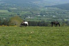 Dos caballos que pastan en un campo Foto de archivo