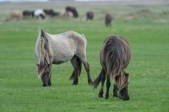 Dos caballos que pastan en un pasto Fotos de archivo libres de regalías