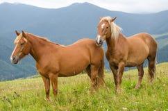 Dos caballos que se colocan en el campo y las montañas y la mirada adelante Caballos salvajes en paisaje cárpato de los Cárpatos, Fotografía de archivo