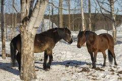 Dos caballos que se colocan en nieve con los árboles de abedul alrededor de ellos Foto de archivo libre de regalías