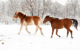 Dos caballos que se ejecutan en nieve Foto de archivo libre de regalías