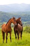 Dos caballos árabes Imágenes de archivo libres de regalías