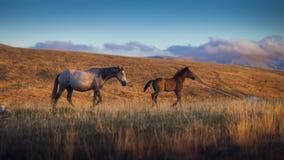 Dos caballos salvajes en la montaña, la hierba del jellow y el cielo azul Imagen de archivo