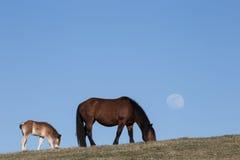 Dos caballos y lunas Imágenes de archivo libres de regalías