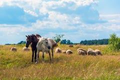 Dos caballos y ovejas que pastan en el prado Fotos de archivo libres de regalías
