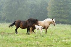 Dos caballos y potro recién nacido foto de archivo