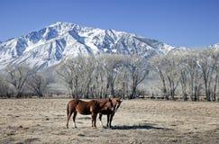 Dos caballos y una montaña de la nieve Foto de archivo libre de regalías