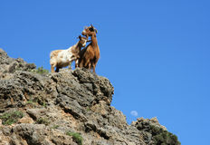 Dos cabras imagenes de archivo