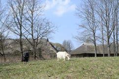 Dos cabras Imagen de archivo