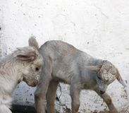 Dos cabras blancas jovenes juegan con uno a Primer foto de archivo libre de regalías