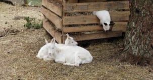 Dos cabras blancas y un conejo están en la granja almacen de video