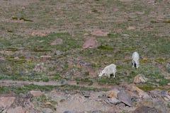 Dos cabras de montaña pastan en el Monte Rainier Fotografía de archivo