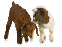 Dos cabras del bebé imágenes de archivo libres de regalías