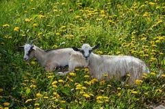 Dos cabras en el campo de dientes de león imagen de archivo libre de regalías