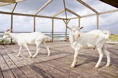 Dos cabras en el centro turístico del mar Fotos de archivo libres de regalías