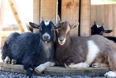 Dos cabras en granja imagenes de archivo