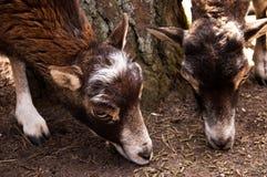 Dos cabras jovenes foto de archivo