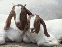 Dos cabras jovenes imágenes de archivo libres de regalías
