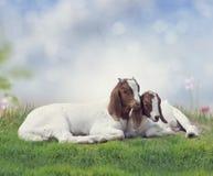 Dos cabras jovenes del Boer foto de archivo