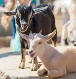 Dos cabras lindas Imagen de archivo libre de regalías