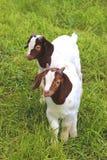 Dos cabras lindas del niño en un prado foto de archivo
