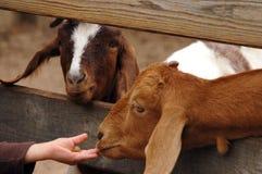 Dos cabras más buenas que comen de una mano del ` s del niño a través de la cerca Fotografía de archivo libre de regalías