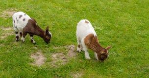 Dos cabras manchadas marrones del bebé pastan en el prado Imagenes de archivo
