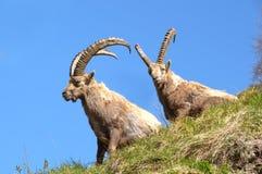 Dos cabras monteses acercan a en Vanoise de Champagny Imagenes de archivo