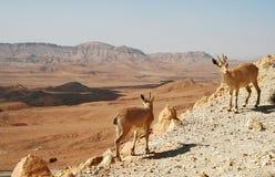 Dos cabras monteses en el acantilado en el cráter de Ramón. Imagen de archivo libre de regalías