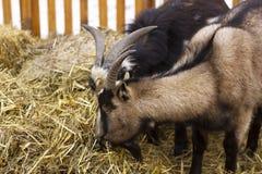 Dos cabras que comen el heno rodeado en granja Imágenes de archivo libres de regalías