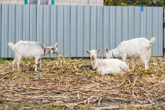 Dos cabras que comen la hierba, una cabra que mira la cámara, cabras blancas en el pueblo en un campo de maíz, cabras en hierba d Imágenes de archivo libres de regalías